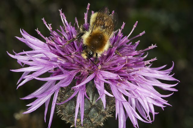 Bumblebee, Bombus pascuorum, on Greater Knapweed, Centaurea scabiosa.  Lullingstone Country Park, 14 October 2011.