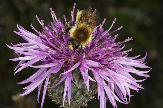 Bumblebee, Bombus pascuorum, on Greater Knapweed, Centaurea scabiosa.  Lullingstone Country Park, 14 October 2011.