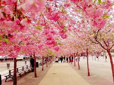 Издалека цветущие вишни