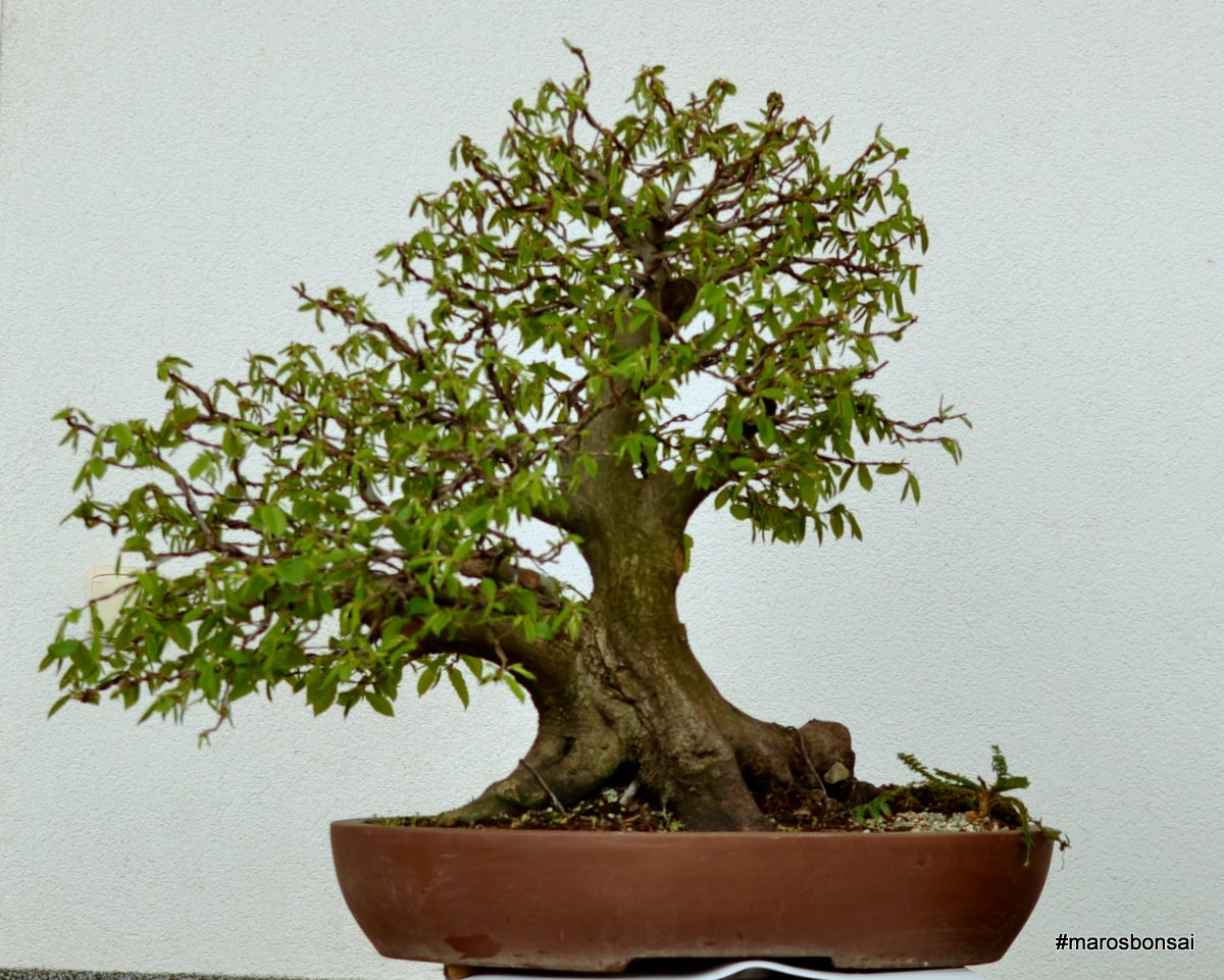 Maros Bonsai Blog Carpinus Betulus No11 QuotThe Yossarianquot Turning
