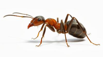 Mengapa Semut Jalan Berbaris?
