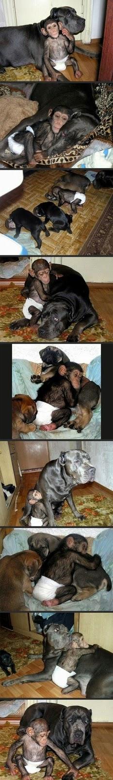 Chimpancé adoptado