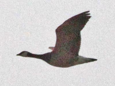 Canada Goose' 2015 june