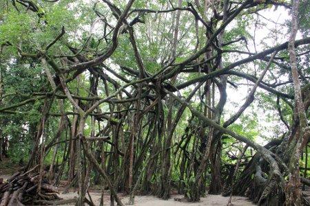 hutan pohon beringin gua maria