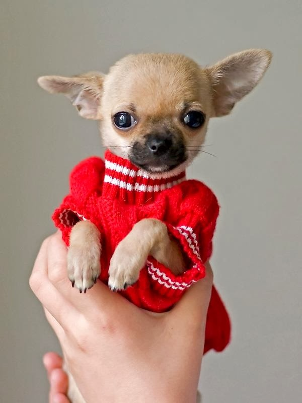 Is Chihuahua The Smallest Dog Breed?