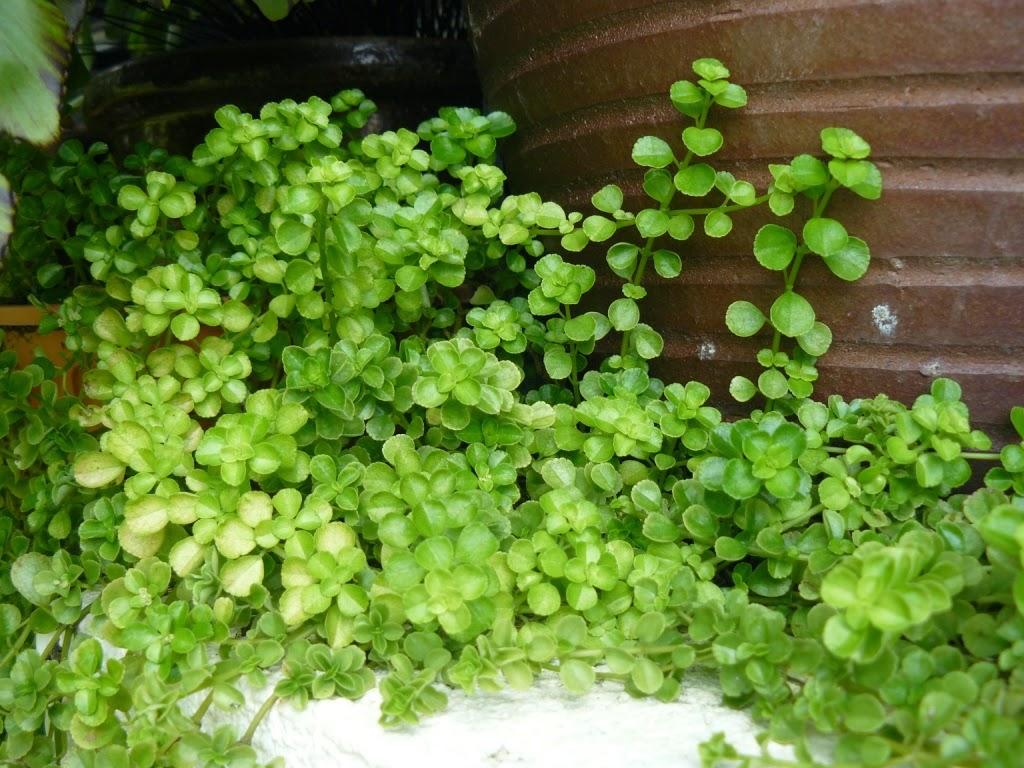 Potted garden a closer look for Plante pilea