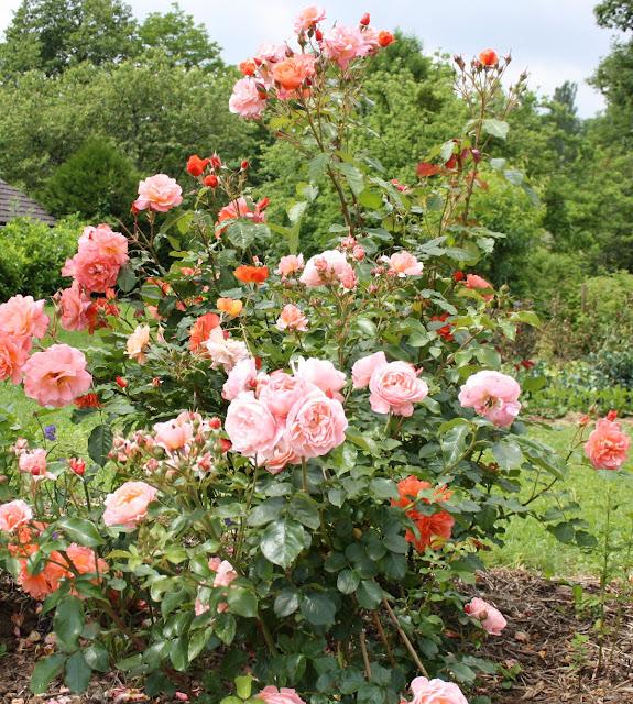 le blog de mon doubs jardin le rosier marie curie. Black Bedroom Furniture Sets. Home Design Ideas