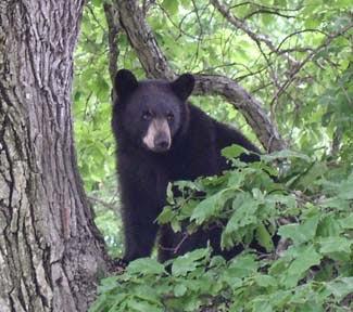 Bear Sightings In Rhode Island