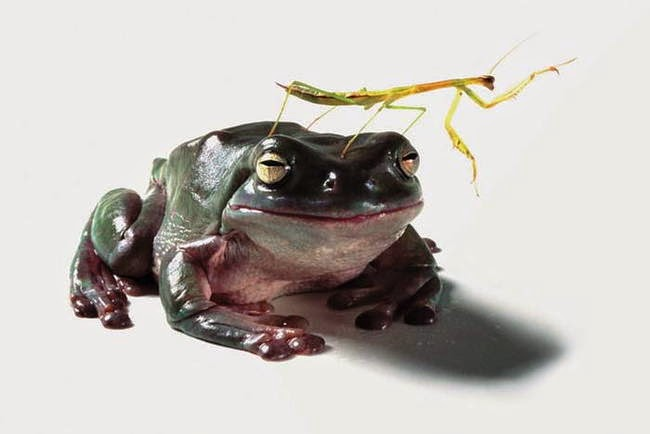 Hunting and feeding (19 pics), Frog about to eat a praying mantis