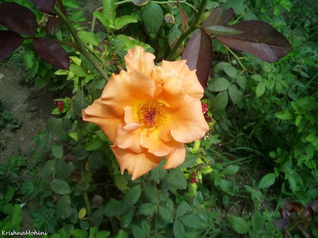प्रतिमा: मुस्कुराता सुनहरा केसरिया गुलाब