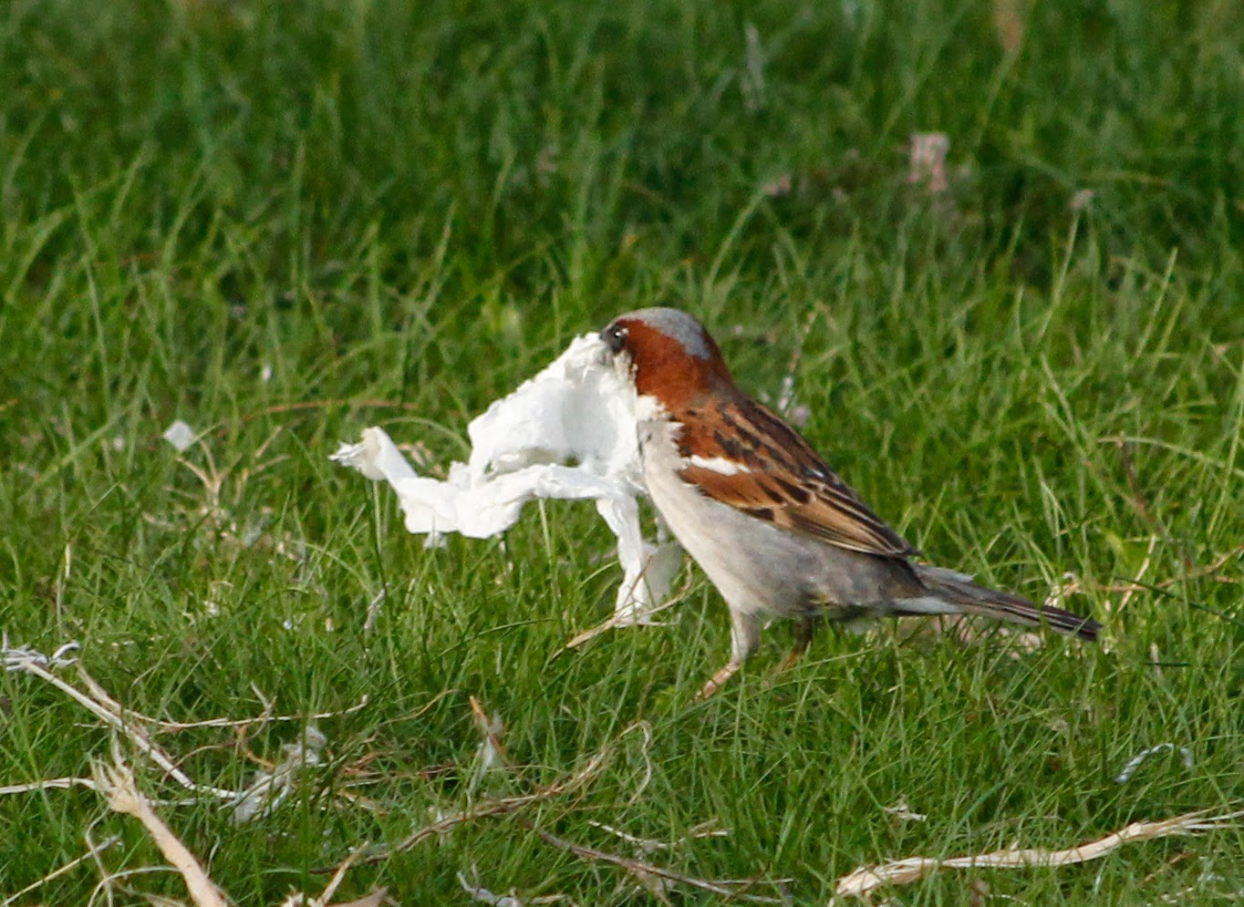 male house sparrow picks up tissue