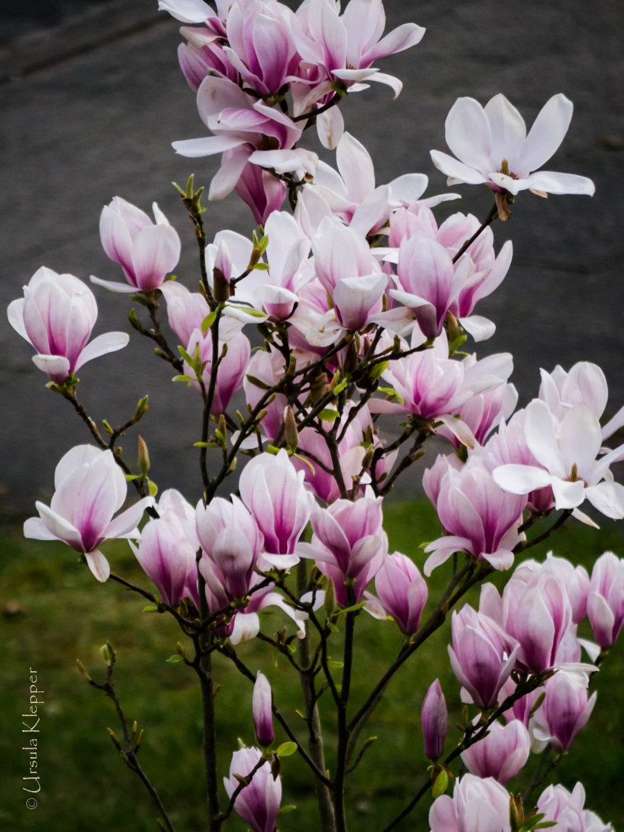 garten bilder die magnolie. Black Bedroom Furniture Sets. Home Design Ideas