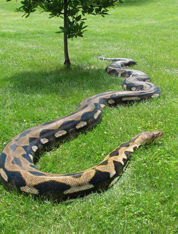 Pythons Snake, Snakes Reptiles, Beautiful Snakes, Animals Snakes, Hate ...