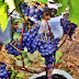 Cara Menanam Anggur Dalam Pot