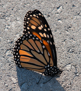 A monarch butterfly with folded wings in black, orange and white, against a concrete background.
