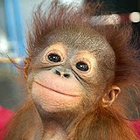 Save Orangutans, Adopt or Donate