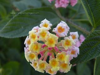 Yercaud Flower