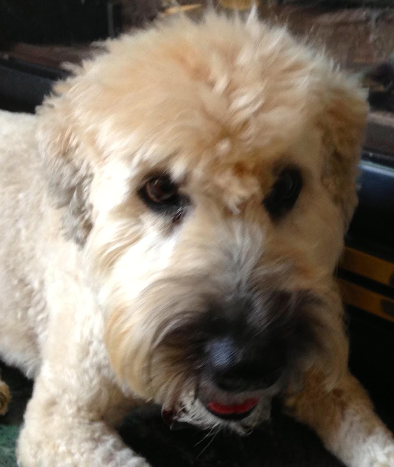 Wheaten Terrier Blog Seamus And His Pal Stella Wheaten Terrier
