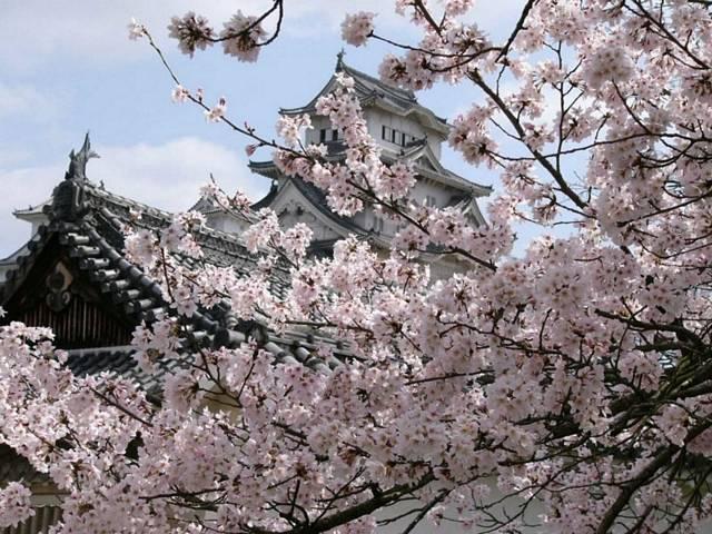 Sakura, Kiraz Çiçeği