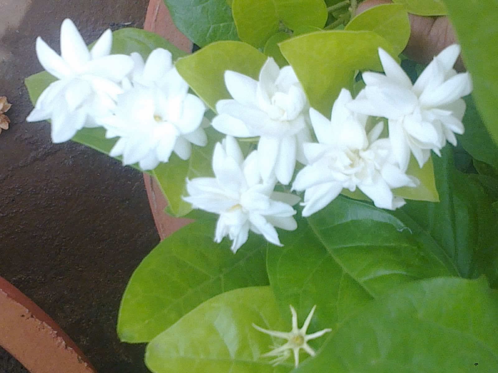 Plants growing in my potted garden arabian jasmine blooms close up photo of arabian jasmine cluster izmirmasajfo