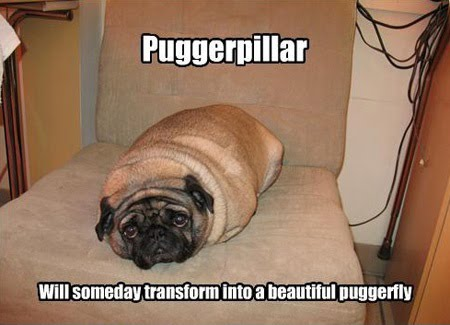 Puggerpillar Will Someday Transform Into A Beautiful Puggerfly