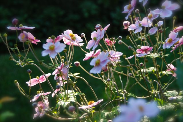 The beauty of pink Japanese Anemones in the setting sun this September. This is one of the flowers that I can't wait to see each fall! And they improve in size and bloom every year.