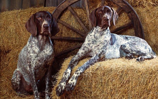 Dog wallpaper hay bales