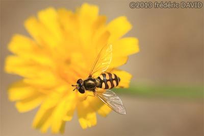 macro syrphe insecte forêt fleur pissenlit nature Fontainebleau Seine et Marne