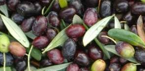 Taggiasca olive variety It is grassy, floral and well-balanced