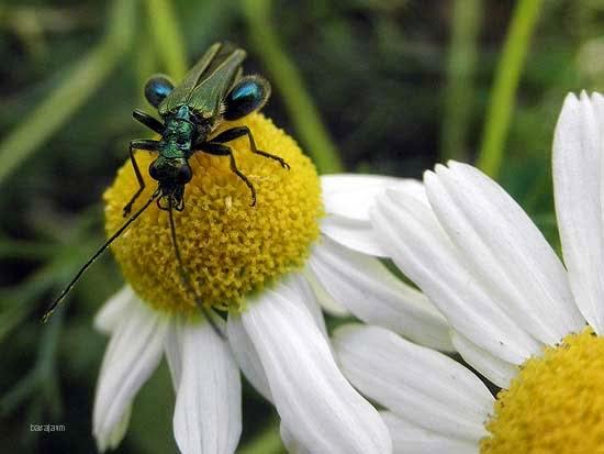 manzanilla,escarabajo