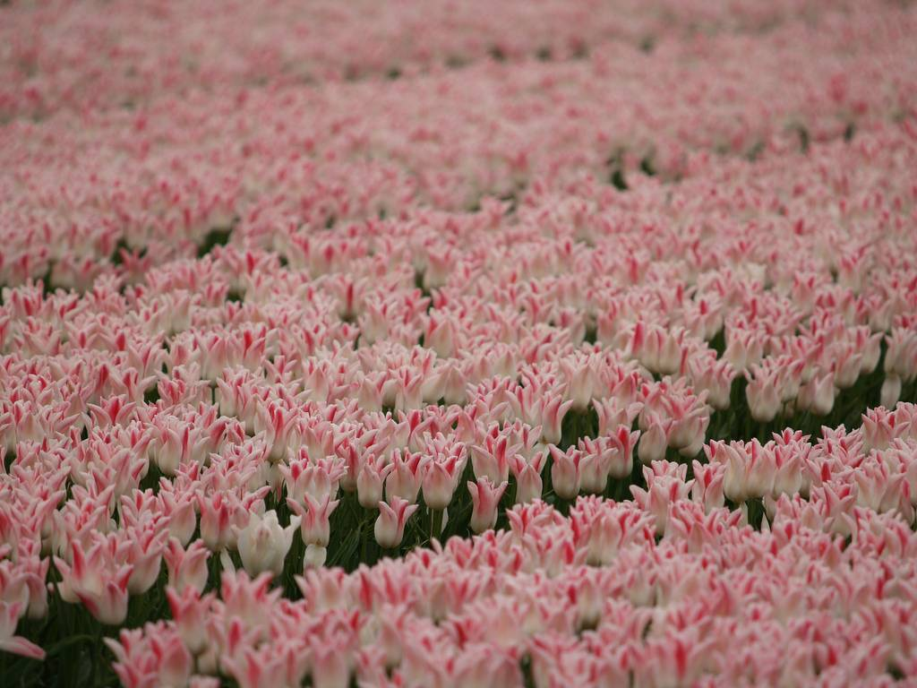 field of pink and white tulips