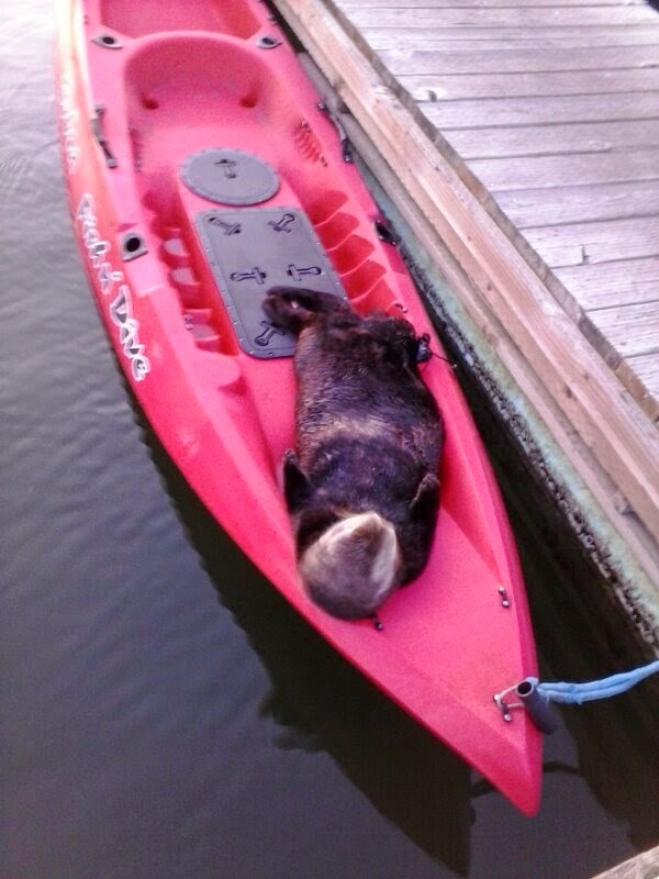 Funny animals of the week - 9 May 2014 (40 pics), cute animals, animal photos, seal sleeps in a kayak