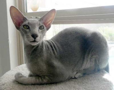 Mèo Peterbald