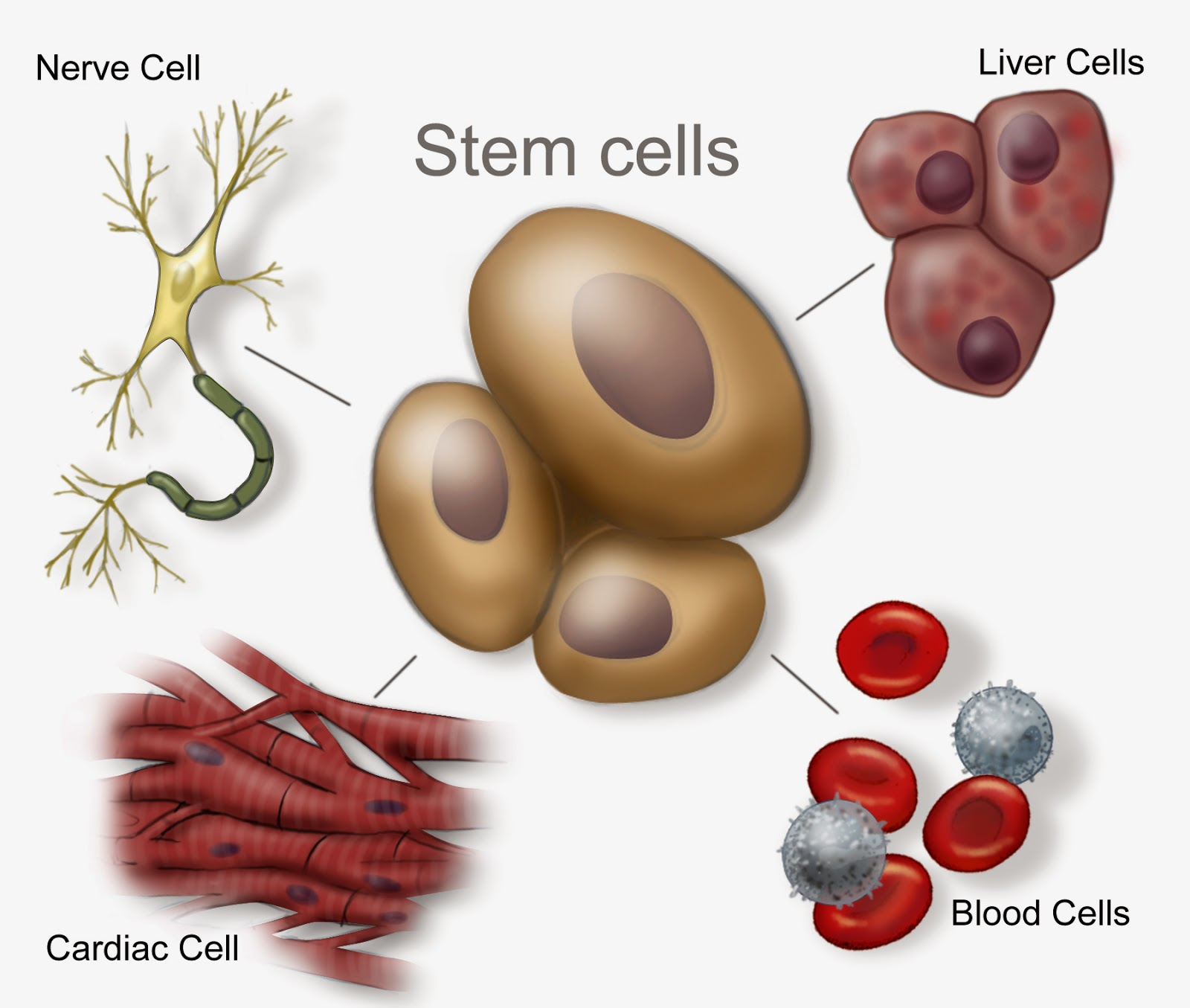 stem cell possibilities Modeling neurodegenerative diseases with patient-derived induced pluripotent cells: possibilities and challenges.