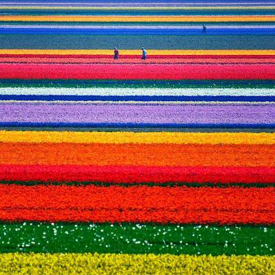 Campo de Tulipanes (Holanda)