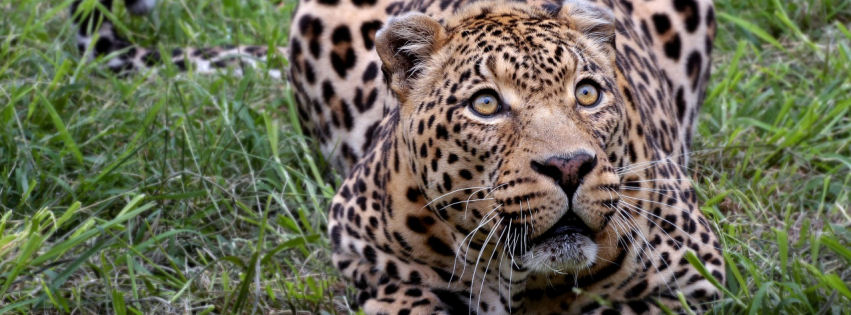 African Leopard facebook cover