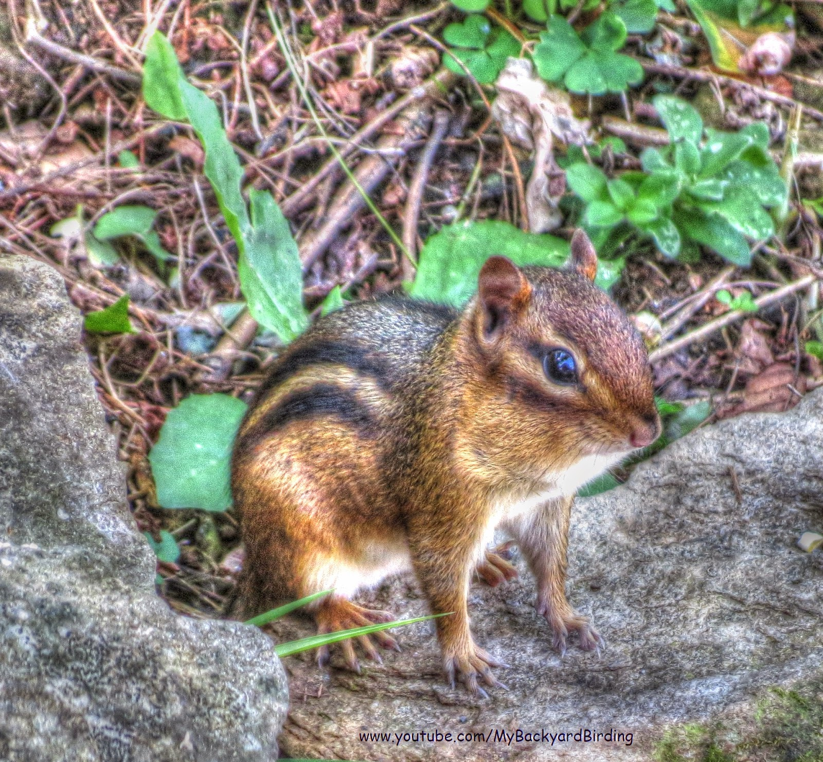 Eastern Chipmunk - Great Smoky Mountains, North Carolina