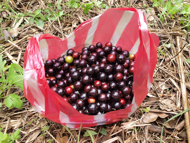採收下來的樹葡萄(嘉實果)