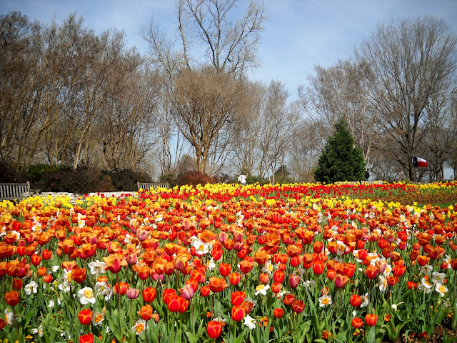 Spectacular tulips display, Dallas Arboretum, Dallas Blooms 2012