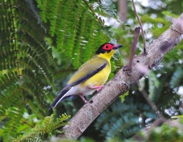 Australian Figbird 2, male