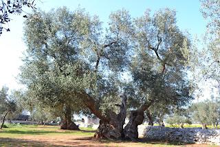 Spettacolare albero secolare Mavilio