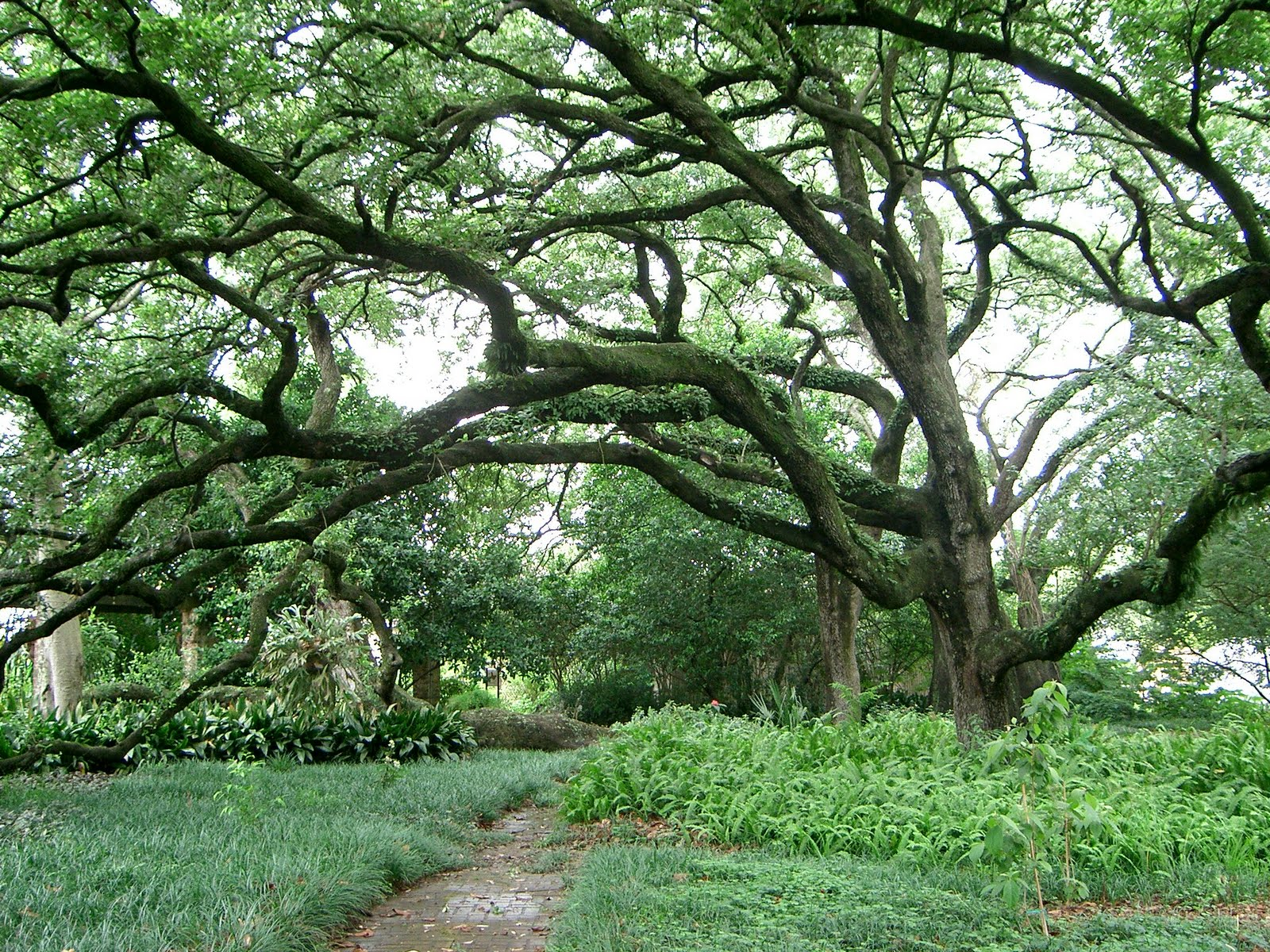 A Live Oak At The New Orleans Botanical Gardens, Which Suffered A Great  Deal Of Damage