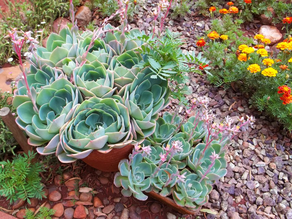 The Succulent And Cactus Lady That S Me Echeveria