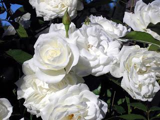 paiasaje de rosas blancas