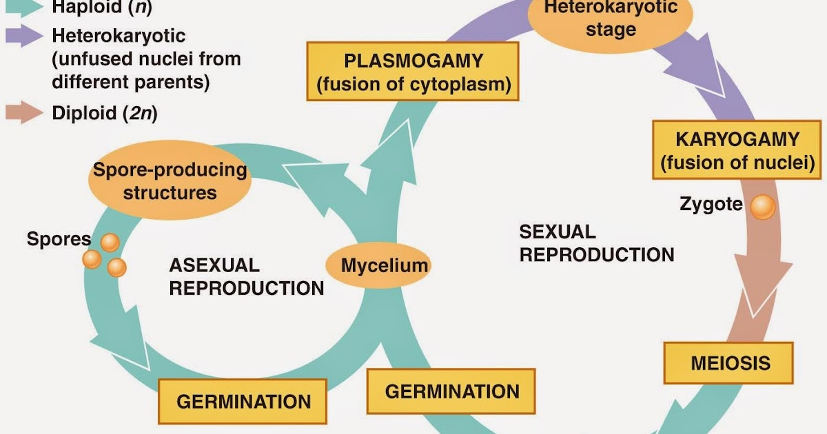 Different asexual cycles