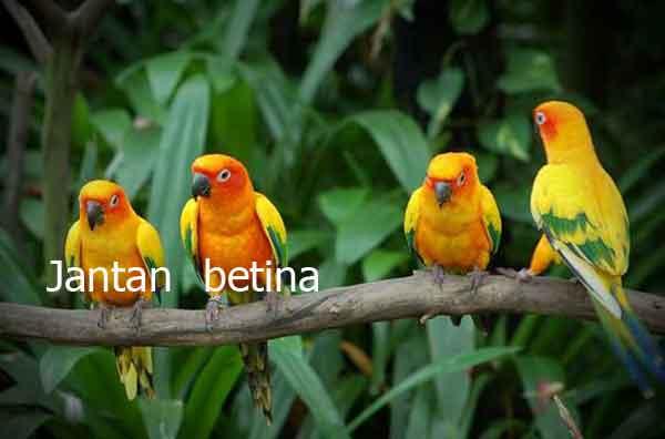 Ciri Burung Lovebird Betina Dan Jantan Dari Bodi