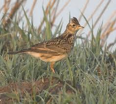 Burung Branjangan :Habitat Burung Branjangan Yang Menyukai Tempat-Tempat Kering