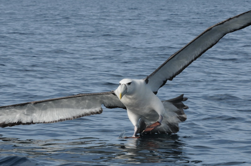 BirdLife: Albatross Task Force to the rescue