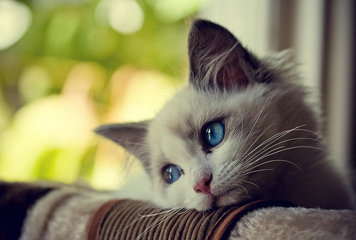 sad cat no energy