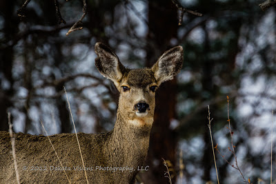 Mule Deer, swift things are beautiful, deer, custer state park, Dakota Visions Photography LLC